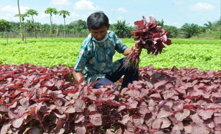 Buka Lahan Tanpa Membakar, Petani Sayur ini Buktikan Masih Untung Besar