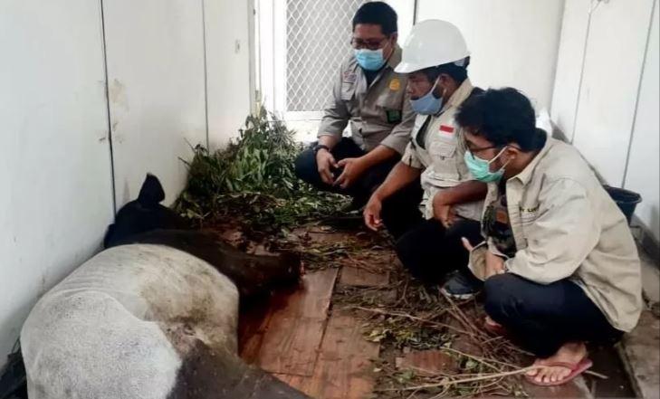 Kaki Seekor Tapir Jantan Putus Karena Terjerat di Pelalawan